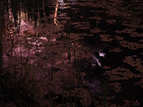池に映った桜もきれいです