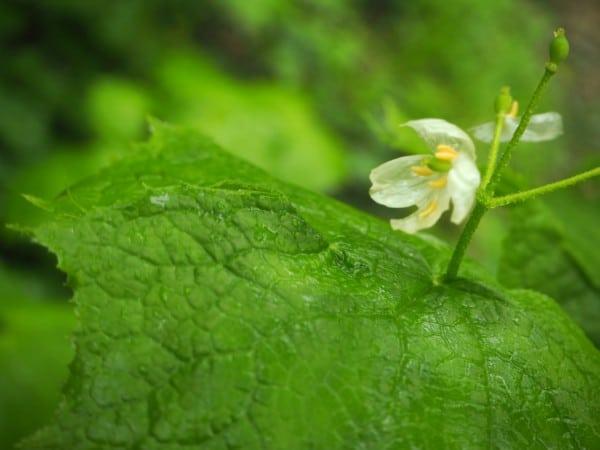 今話題のサンカヨウ。雨に濡れると花びらが透明になります。唯一見れたもので。ほとんど終わっていました。