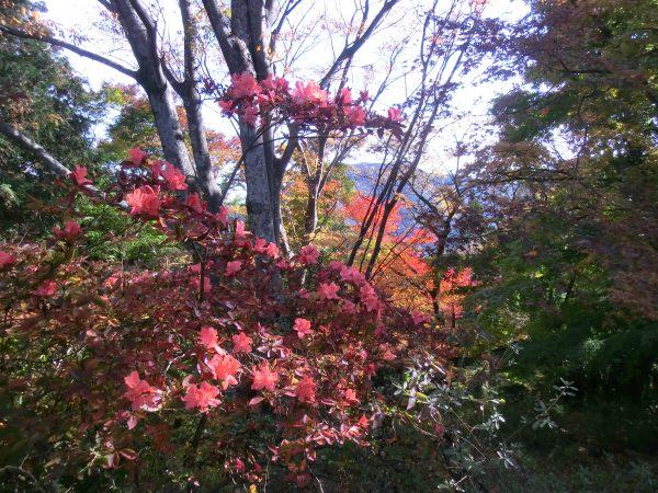 見晴台手前の丸山山頂ではヤマツツジが満開。その後ろはカエデの紅葉と不思議な景色。