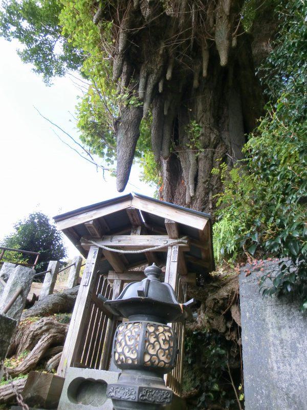 高山不動の大イチョウもすごい。山に登って歴史的建造物も見れて巨樹にも会って贅沢な山旅となった。