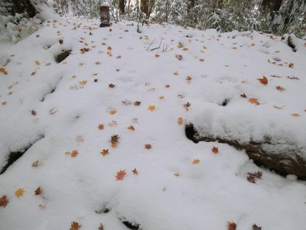 帰路、ふと見ると新雪の上に紅葉したカエデの落ち葉がちりばめられてました。