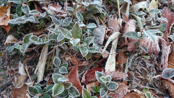 霜がおりると植物が芸術品のようです。